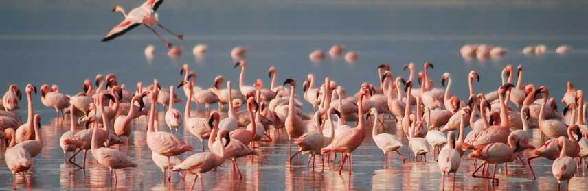 Africa Flamingos